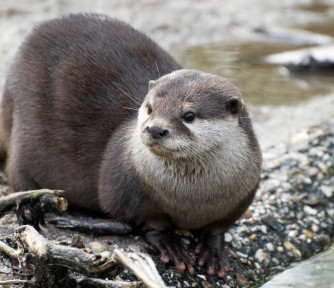 International Otter Survival Fund: Promoting the Survival and Health of the World's Otter Population - Featured Photo