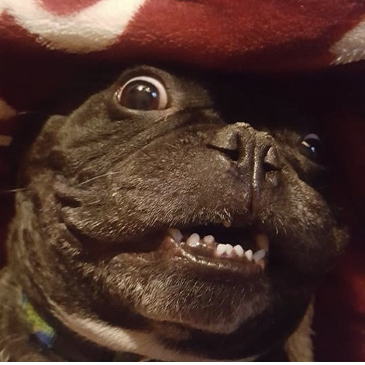 French Bulldog Second Chance Rescue | Nonprofit - MissionBox